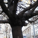 "The number ""1"" tree in Berlin. Every tree is numbered and documented!"