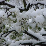 OUr blossom tree covered in snow. white on white very art modern