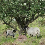 A couple of sheepies take cover under a tree