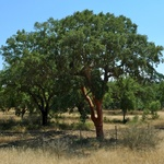 Cork trees were everywhere on our drive inland towards Spain