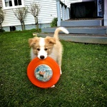 He loves the frisbee. Until Tom threw it next door never to be seen again :(