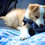 Has a nibble on his new seatbelt